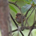 Brown Parrotbill - Sichuan 2015