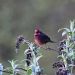 Dark-breasted Rosefinch - Sichuan 2015