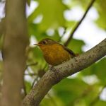 Golden Bush-Robin - Sichuan 2015