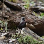 Wallcreeper - Sichuan 2015