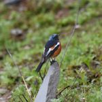 White-throated Redstart - Sichuan 2015