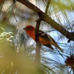 Flame-coloured Tanager - Durango Highway 2017_00021