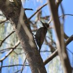Arizona Woodpecker - Durango Highway 2017_00014