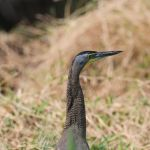 Bare-throated Tiger-Heron - San Blas Boat Trip 2017_00042
