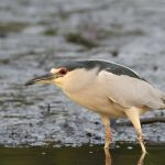Black-crowned Night Heron 2 - San Blas Boat Trip 2017_00004