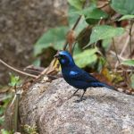 Blue Bunting (male) - Puerto Vallarta 2017_00034