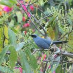 Blue Mockingbird - West Mexico 2017_00022