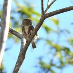 Colima Pygmy Owl - West Mexico 2017_00005