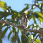 Ferruginous Pygmy Owl - West Mexico 2017_00009