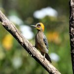 Golden-cheeked Woodpecker - Puerto Vallarta Botanical Gardens 2017_00016