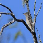 Greater Pewee - Puerto Vallarta 2017_00074