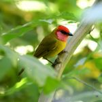 Red-headed Tanager - Cerro de San Juan 2017_00070