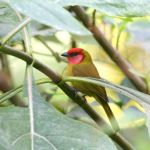 Red-headed Tanager - Cerro de San Juan 2017_00072