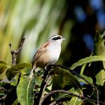 Stripe-headed Sparrow 2 - Puerto Vallarta 2017_00078
