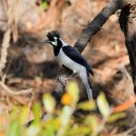 Tufted Jay - Durango Highway 2017 _00082