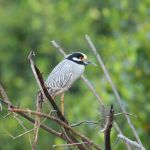 Yellow-crowned Night Heron 2 - San Blas Boat Trip 2017_00008