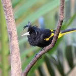 Yellow-winged Cacique b - Puerto Vallarta Botanical Gardens 2017_00044