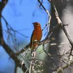 Flame-coloured Tanager 2 - Durango Highway 2017_00023