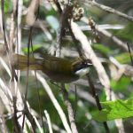 Green-striped Brush-Finch - Durango Highway 2017_00041