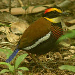 Banded Pitta