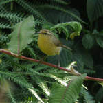 Buff-throated Warbler