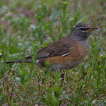 Eye-browed Thrush