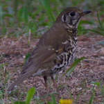 Chinese Song Thrush