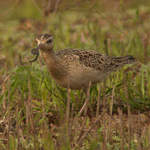 Little Whimbrel a