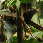Cachar Wedge-billed Wren-babbler