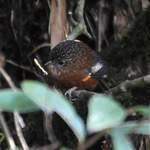 Bar-winged Wren-babbler at Mayodia