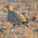 Chestnut-bellied Sandgrouse © Nikhil Devasar