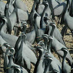 Demoiselle Cranes by Nick Bray