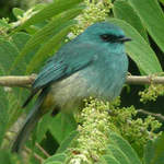 Mountain Verditer-flycatcher
