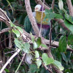 Yellow-breasted Fruit-dove
