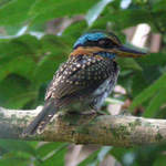 Spotted Wood-kingfisher