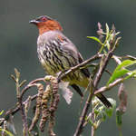 Chestnut-crested Cotinga copyright Nick Bray