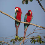 Red-and-green-Macaws-A