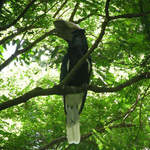 Black-and-white-cascqued Hornbill