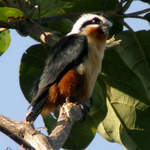 Collared Falconet at Chitwan