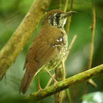 Spot-winged Thrush