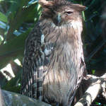 Brown Fish-owl - Sri Lanka