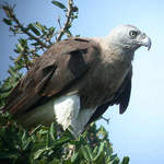 Grey-headed Fish-eagle 2