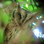 Indian Scops-owl