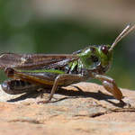 Club-footed Grasshopper