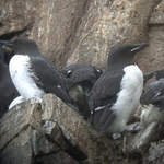 Brunichs Guillemot 2