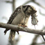 Northern Hawk Owl 1