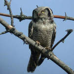 Northern Hawk Owl 2