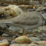 Long-billed Plover