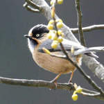 Rufous-fronted Tit