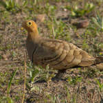Chestnut-bellied-Sandgrouse